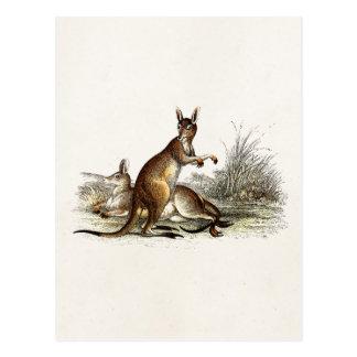Vintage 1800s Great Grey Kangaroo - Kangaroos Postcard