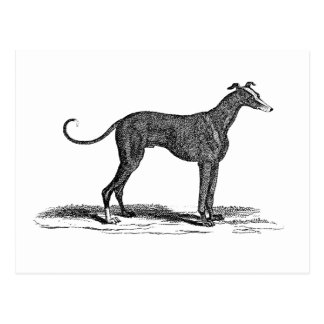 Vintage 1800s Greyhound Dog Illustration - Dogs Postcard