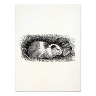 Vintage 1800s Guinea Pig Illustration Retro Cavies Photo Art