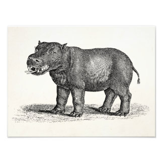 Vintage 1800s Hippopotamus Illustration - Hippos Photo Print