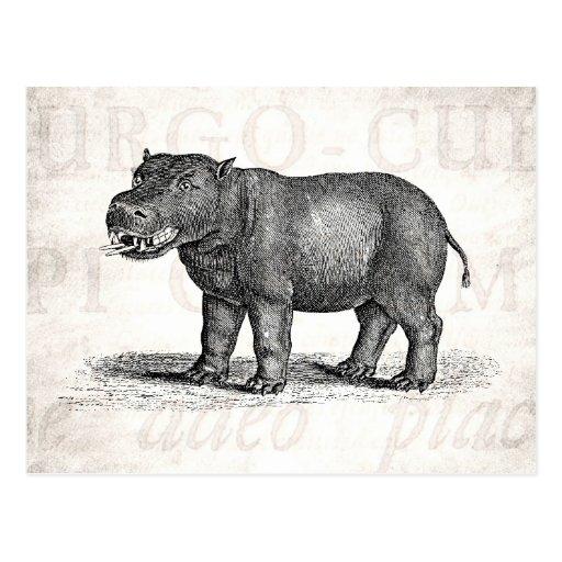 Vintage 1800s Hippopotamus Illustration - Hippos Post Cards