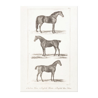 Vintage 1800s Horse Old Breeds Arabian Hunter Race Canvas Print