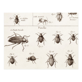Vintage 1800s Insects Bugs Beetles Illustration Postcard