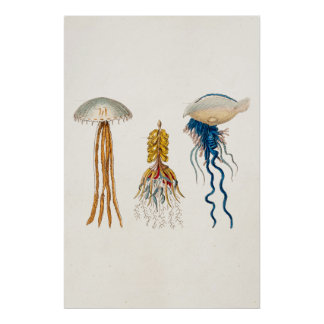 Vintage 1800s Jellyfish Illustration - Jelly Fish Poster