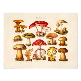 Vintage 1800s Mushroom Variety Red Mushrooms Photographic Print