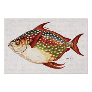 Vintage 1800s Opah Tropical Sporting Fish Drawing Poster