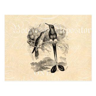 Vintage 1800s Racket-Tail Hummingbird Racquet Tail Postcard