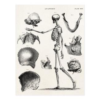 Vintage 1800s Skeleton Antique Anatomy Skeletons Postcard