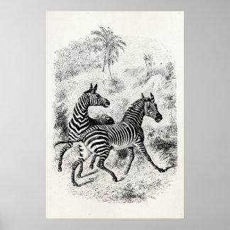 Vintage 1800s Zebras Retro Old Zebras Illustration Poster