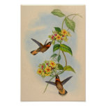 Vintage 1861 Fawn-tailed Hummingbird Print