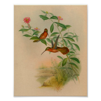 Vintage 1861 Hermit Hummingbird Print