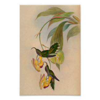 Vintage 1861 Hummingbird Print Sickle Billed
