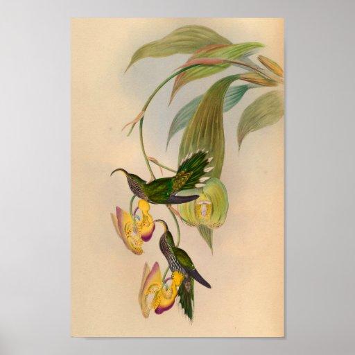 Vintage 1861 Hummingbird Print Sickle Billed