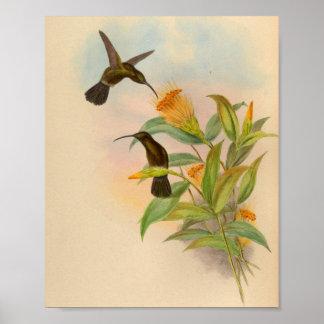 Vintage 1861 Sooty-capped Hummingbird Print