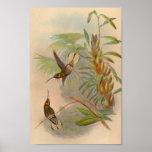 Vintage 1861 White-tailed Hummingbird Print
