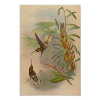 Vintage 1861 White-tailed Hummingbird Print