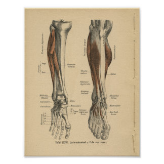 Vintage 1888 German Anatomy Print Leg Foot