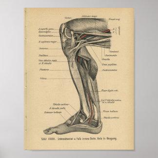 Vintage 1888 German Anatomy Print Leg Knee