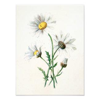 Vintage 1902 Daisies Old Wild Flower Illustration Photograph