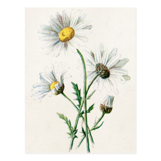 Vintage 1902 Daisies Old Wild Flower Illustration Postcard