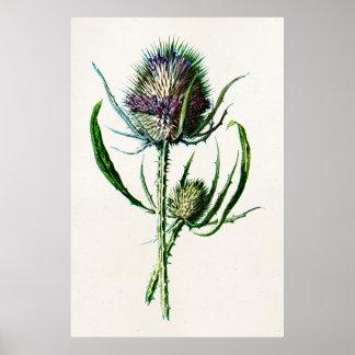 Vintage 1902 Old Scottish Thistle Wild Flower Poster