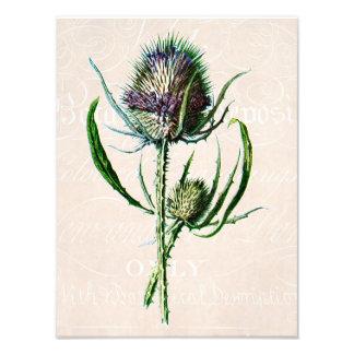 Vintage 1902 Scottish Thistle Old Wild Flower Photo Print