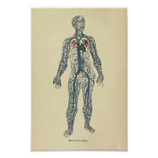 Vintage 1920 Veins Anatomy Art Print