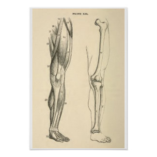 Vintage Anatomy Muscles and Bones Human Leg Poster