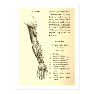Vintage Anatomy | Muscles of the Arm  (circa 1852) Postcard