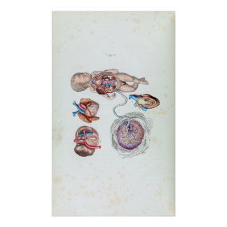 Vintage Anatomy of a Human Infant in Womb Poster