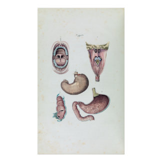 Vintage Anatomy of the Human Mouth and Stomach Poster