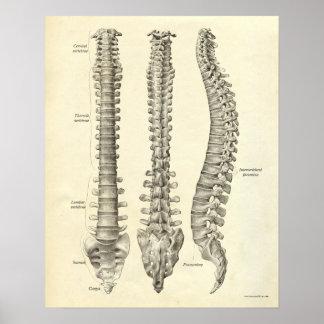 Vintage Anatomy Print Bones Spinal Column