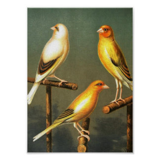 Vintage Art-Bird-Canaries-and-cage-birds-Goldfinch Poster