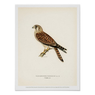 Vintage Bird Illustration - Common Kestrel Poster