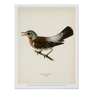 Vintage Bird Illustration - Fieldfare Poster
