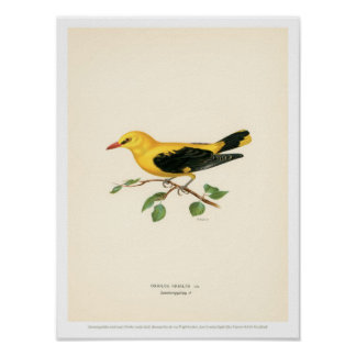 Vintage Bird Illustration - Golden Oriole Poster
