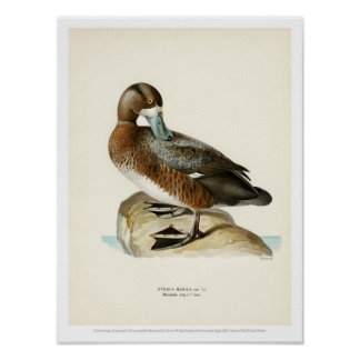Vintage Bird Illustration - Greater Scaup Poster