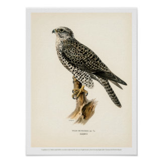 Vintage Bird Illustration - Gyr Falcon male Poster