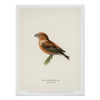 Vintage Bird Illustration - Parrot Crossbill Poster
