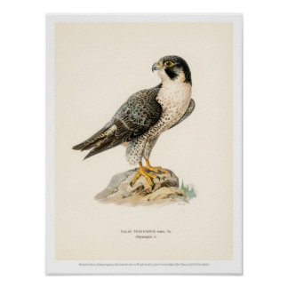 Vintage Bird Illustration - Peregrine Falcon Poster