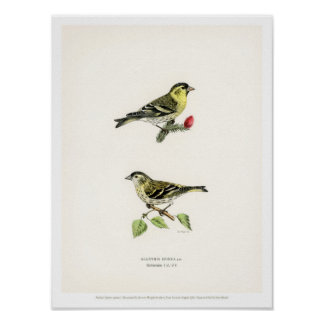 Vintage Bird Illustration - Siskin Poster