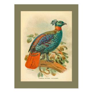 Vintage Birds Colorful Pheasant Illustration Postcard