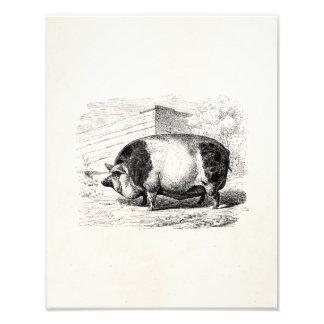 Vintage Black White Spotted Pig Swine Pigs Antique Photo Print