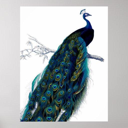 Vintage Blue Elegant Colorful Peacock Print