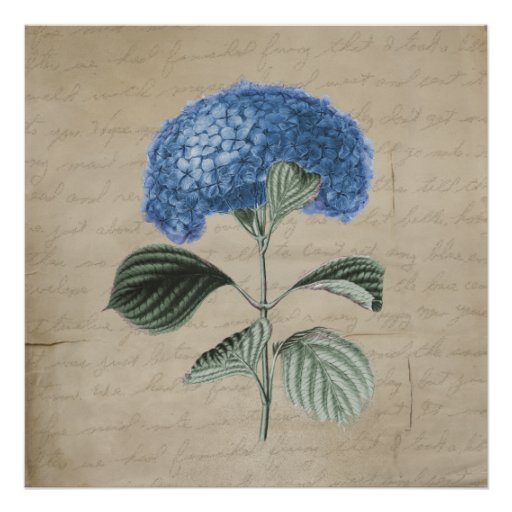 Vintage Blue Hydrangea on Old Paper Posters