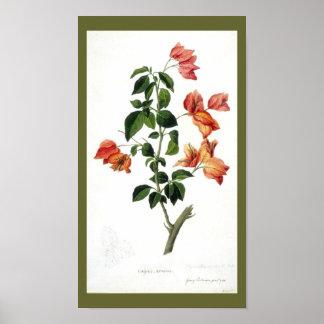 Vintage Botanical-Flower-Bouganville Poster
