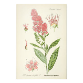 Vintage Botanical Illustration Photo Print