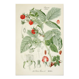 Vintage Botanical Illustration Photo Print