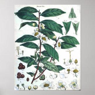 Vintage Botanical Poster - Green Tea