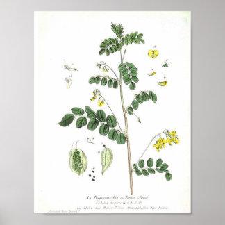 Vintage Botanical Poster - Le Baguenaudier